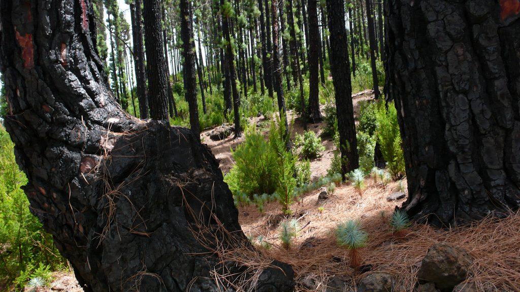 el pino canario incendio