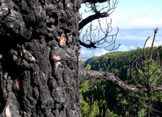 el pino canario resiste el fuego
