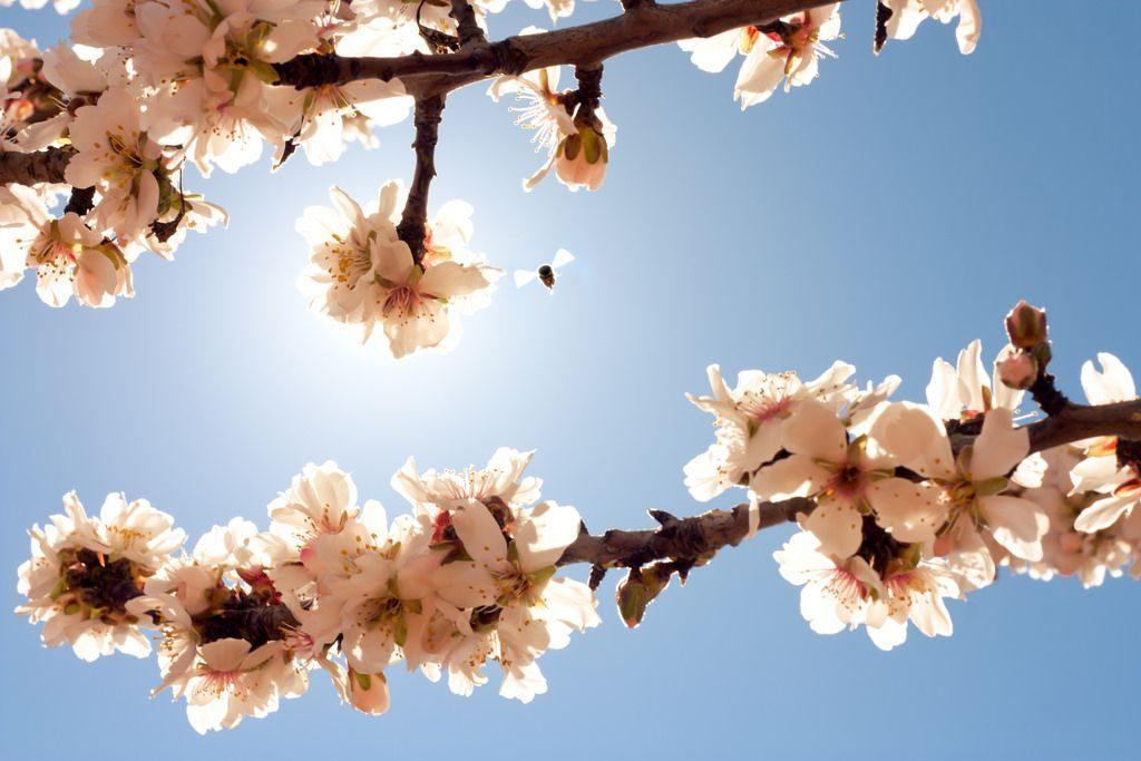 almond blossom in tenerife