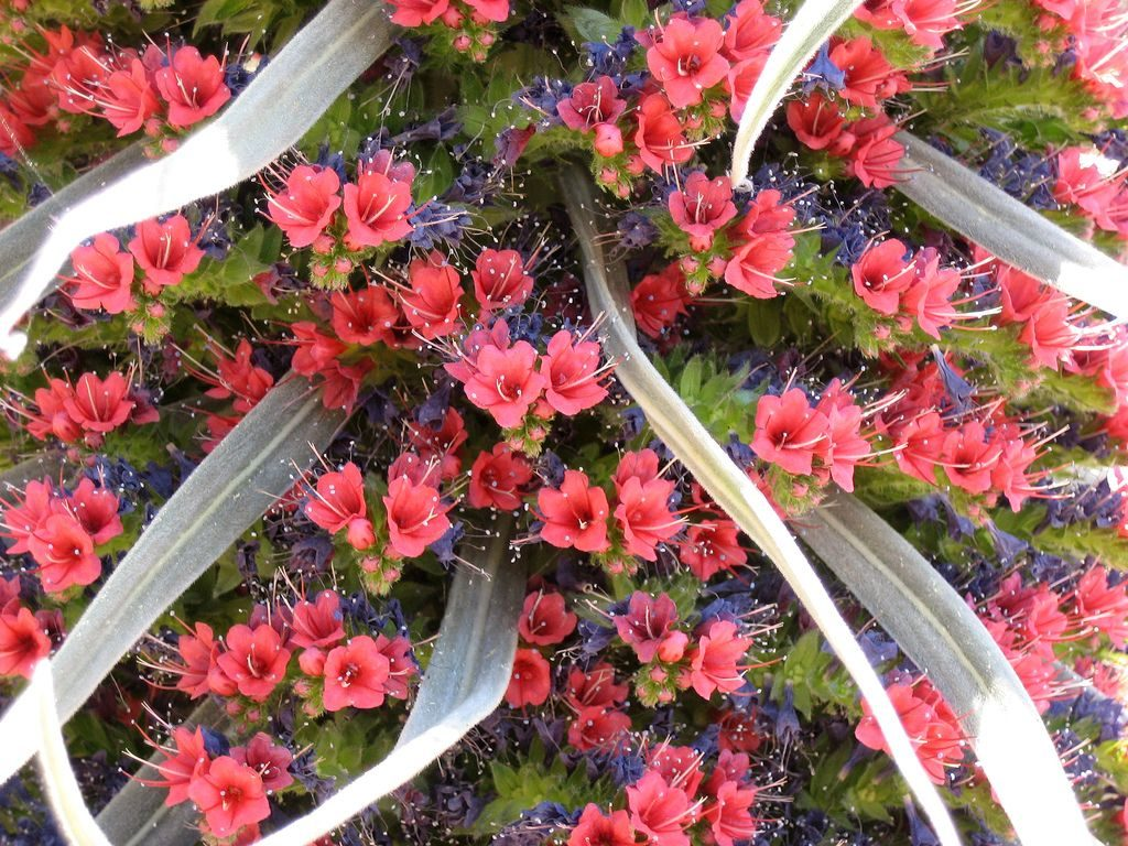 red bugloss tenerife