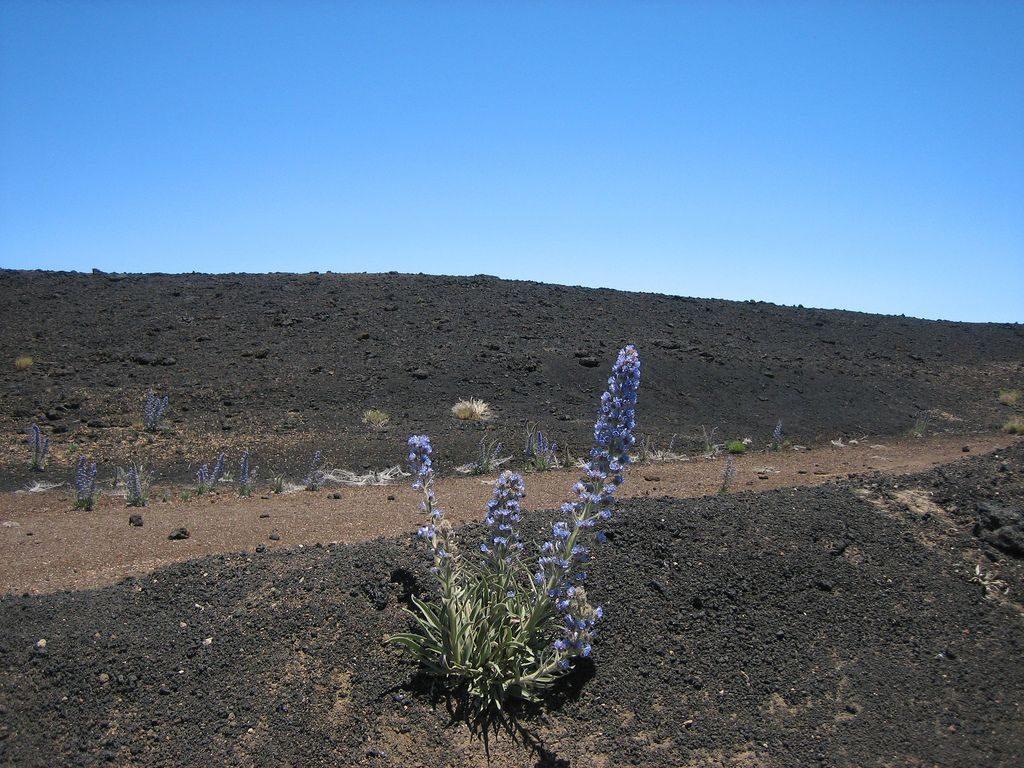 blue bugloss tenerife