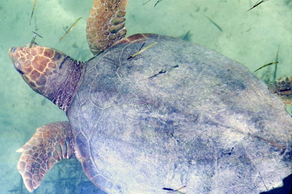 the loggerhead sea turtle
